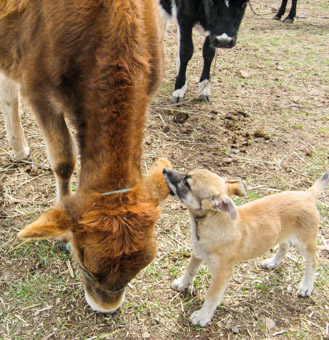 puppy playing with cow in Bolivia