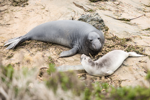 elephant seal mother and baby san simeon california