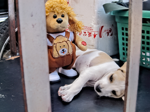 Puppy in cart Udon Thani Thailand